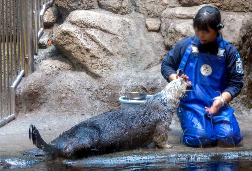 須磨水族園のラッコのお食事タイム