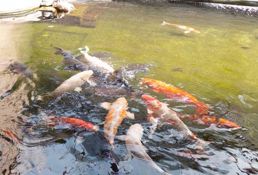 須磨水族園の鯉たち