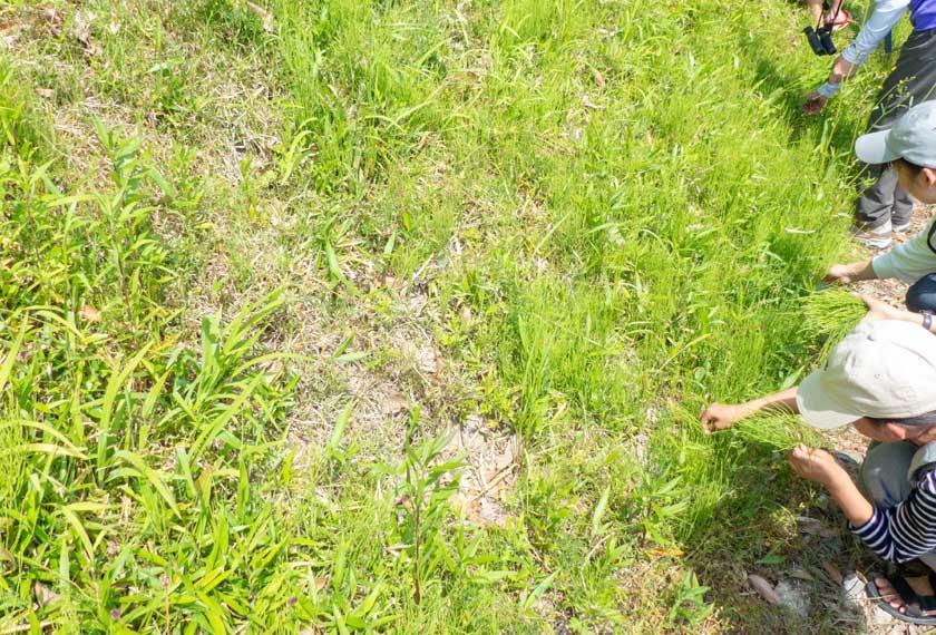 里山体験でスギナを摘み取る