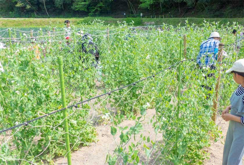 里山体験でスナップエンドウを収穫