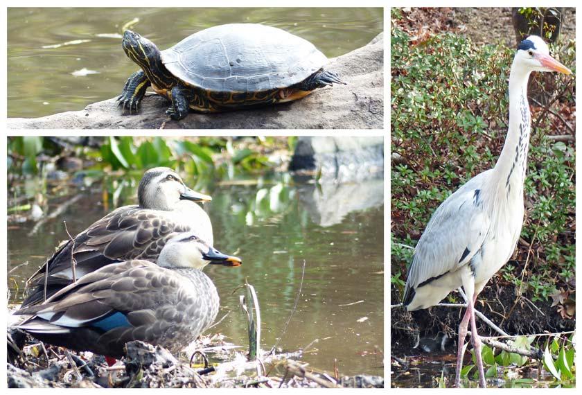 元浜緑地にいるアオサギと亀と鴨