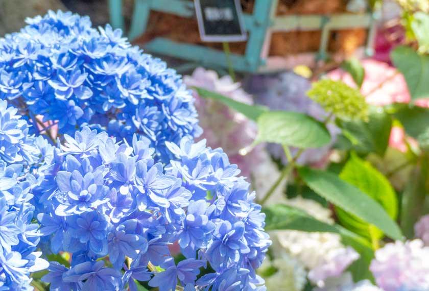 温室植物園に咲くアジサイ