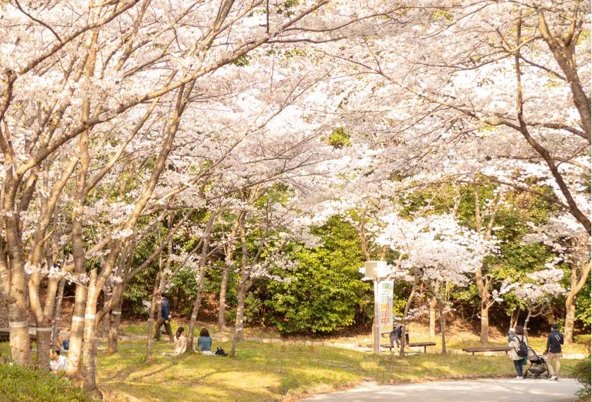 神戸総合運動公園の桜の道