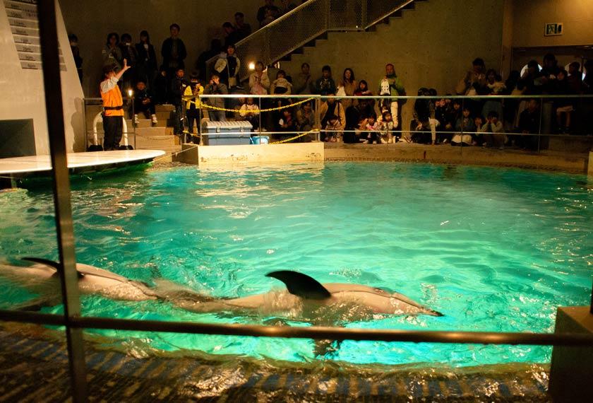 ドルフィンタンクで泳ぐイルカ