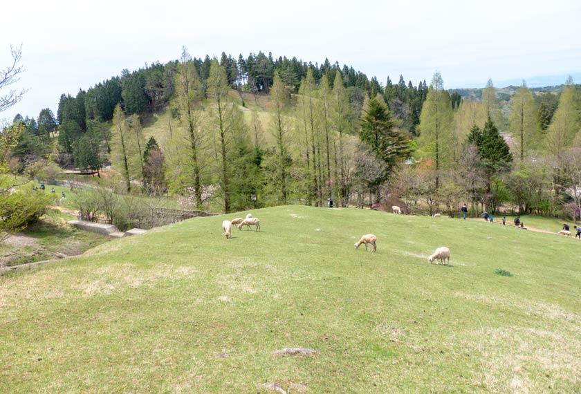 六甲山牧場の広大な敷地に放牧されている羊