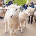 調理体験もあり!約160頭のひつじと触れ合える「六甲山牧場」