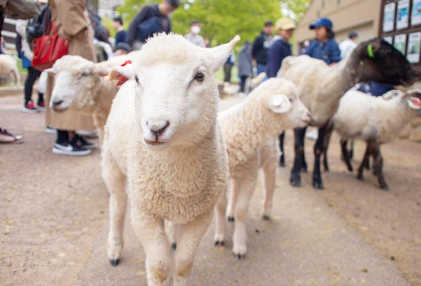 牧場を堂々と歩く羊たち