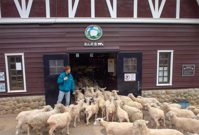 めん羊舎に入っていく羊の群れ