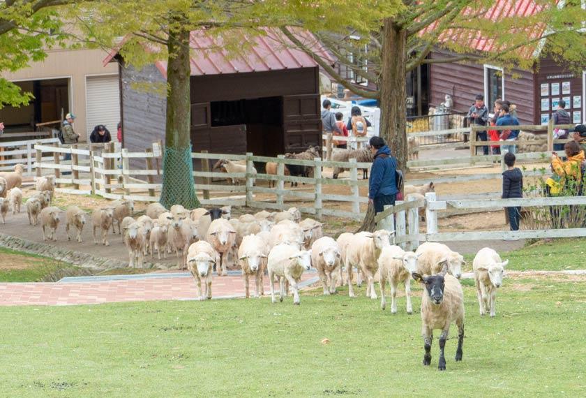 営業開始とともに羊小屋から駆け出す羊たち