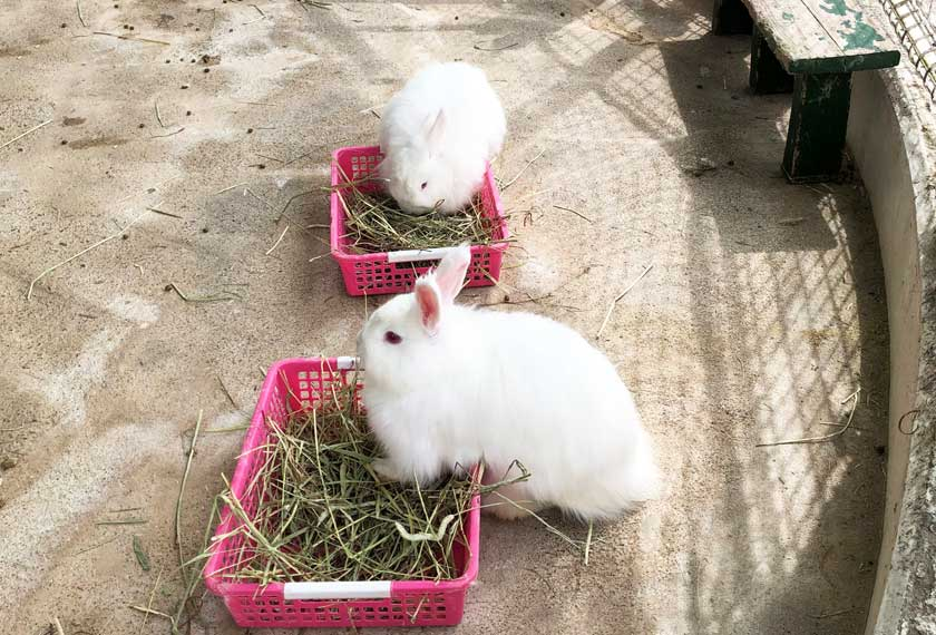 もふもふの日本アンゴラウサギ