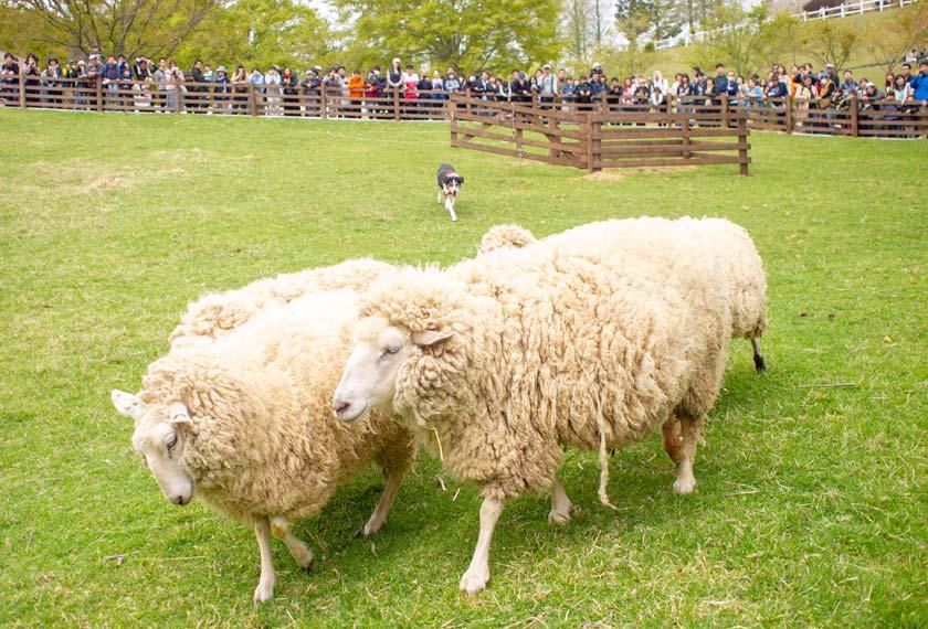 シープドッグショーで牧羊犬ルーシーに追われる羊たち