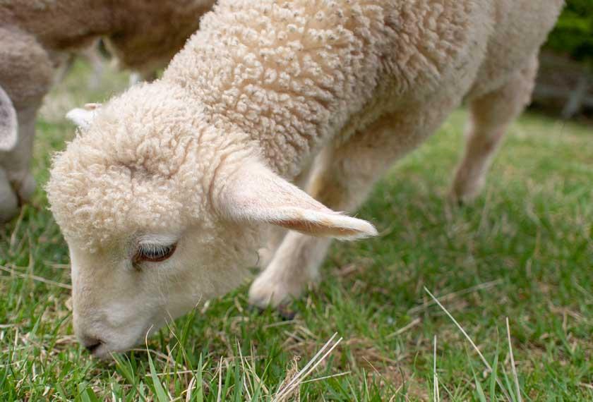 六甲山牧場の子羊